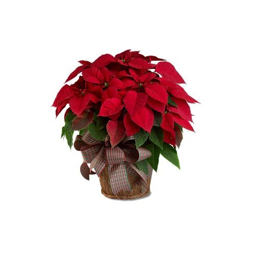 Poinsettias Basket & Pines